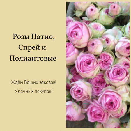 Розы Патио, Спрей и Полиантовые